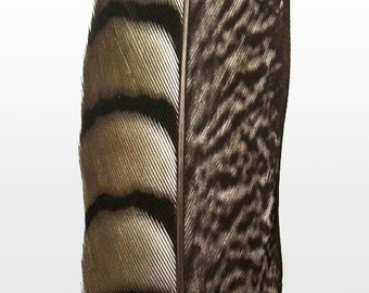 "Lady Amherst Pheasant Feathers.  4/6"" (10-15cm) .  UK Supplier"