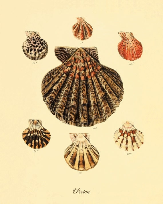 Sea shell vintage prints old prints ocean decor by for Vintage ocean decor