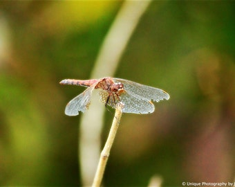 Nature Photography- Insect Photography- Fine Art Photography- Dragonfly- 8x12 Print