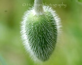 Poppy Pod - Fine Art Photography - Floral - Nature - Home Office Decor - 8 X 12 - HickmanPhotography