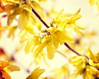 Nature photography, Flowers, Yellow, Forsythia, Spring, Sunny, Wall Decor.