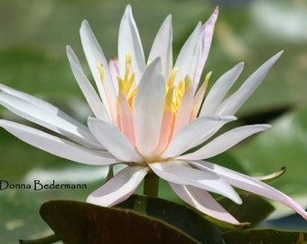 Water Lily 5x7 Fine Art Nature Photography Print
