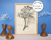 "Vintage illustration of Black Caraway - framed fine art print, botanical art, home decor 8""x10"" ; 11""x14"", FREE SHIPPING - 68"