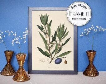 "Vintage illustration of Olive Plant - framed fine art print, botanical art, 8""x10"" ; 11""x14"", FREE SHIPPING - 81"