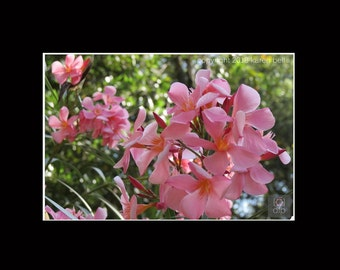 Pink Flower Photography Print, 8x10 matted to 11x14, or 5x7 matted to 8x10, Home Décor, Wall Art