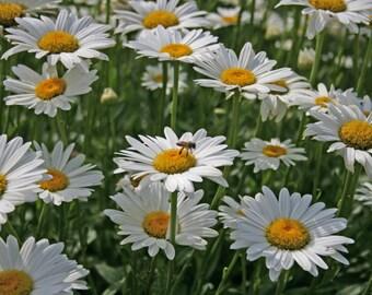 "Pollinating Daisies 4""x6"" notecard set"