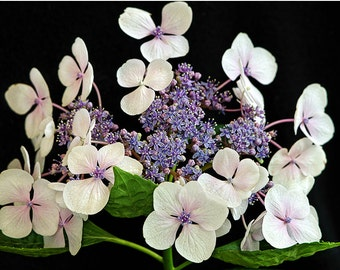fine art photography nature flower photograph flower photography wall art print wall decor, White and Lavender Lacecap Hydrangea on black