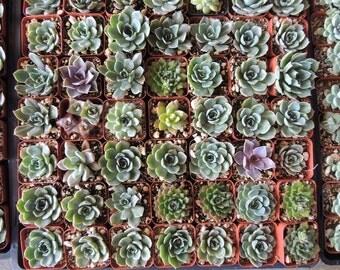 """70 Succulent Wedding Party Favors 2"""" succulents"""