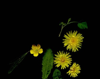 Backyard photography  meadow dreams  Little Suns // scanography  5x7 photography minimalist botanical