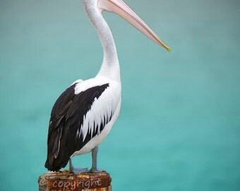 Pelican photo print - Fine Art nautical decor, bird photography, wall art, ocean bird, sea green