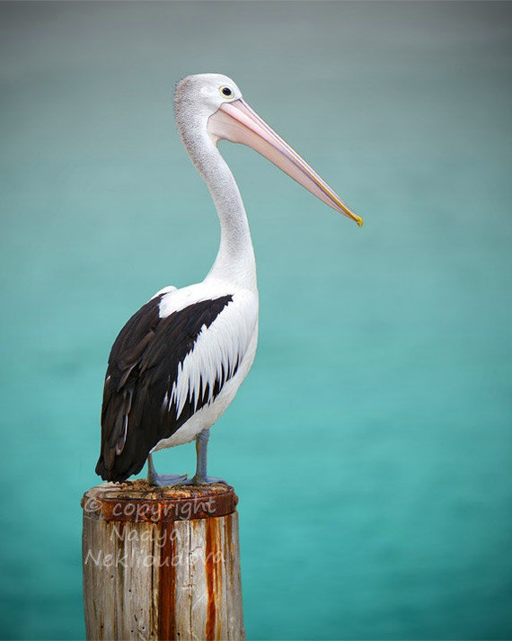 Pelican photo print - 8x10 inches (20x25cm) - Fine Art nautical decor bird photography wall art ocean sea green