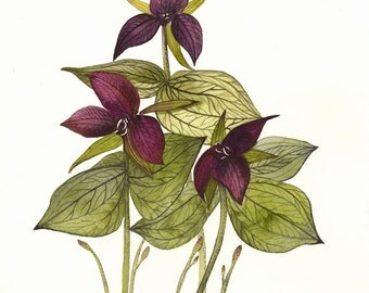 Botanical Art- Nature, spring, flowers- Trillium 8 1/2 x 11""