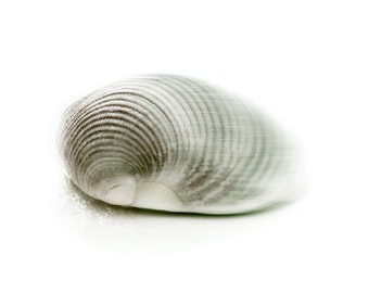 Dreamy Clam Shell Minimal Gray White Large Beach House Seashell Print