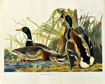 1964 Large Folio Size Audubon Bird Print. American Magpie. Corvus Pica.