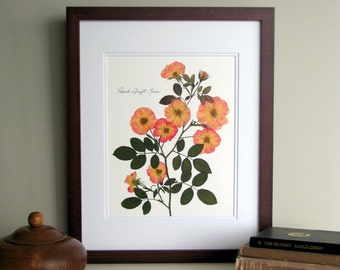 Pressed flower print, 11x14 double matted, Peach Drift Roses, wall art decor no.0043