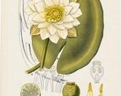 1883 Antique FLOWER ithograph, ALBA NIMPHACEA, white water lily,  original antique print.