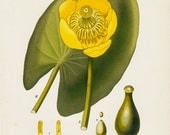1883 Antique YELLOW WATER LILY ithograph, freshwater aquatric plant, Nuphar lutea,  Nymphaeaceae.