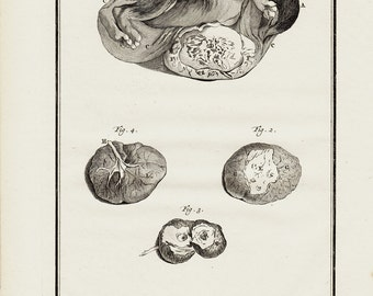 1766 Antique BIZARRE  ANIMAL FETUS  engraving, A little rabbit embryo, 247 years old rare and elegant print