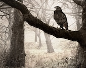 Red-Tailed Hawk in Fog - Original Photograph - Nature Tree Branches at Dusk Predator Bird of Prey Woodland Home Decor Wall Art