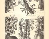 1906 Original Antique Engraving of Cauliflory, Nam-Nam, Judas Tree, Heaven Lotus, Cannonball Tree, Elephant Ear Fig, Calabash Tree