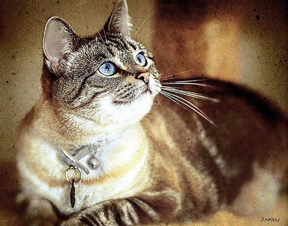 Items Similar To Cat Siamese Tabby Mix Piercing Blue