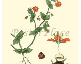 Scarlet Pimpernel ART CARD - Vintage botanical print reproduction 133