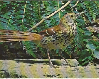 Vintage Postcard Brown Thrasher Bird by John H Gerard Nature Press 1960