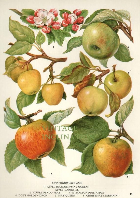 vintage botanical print antique apples 49 plant print