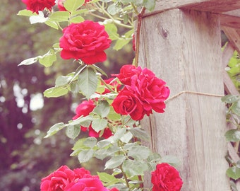 Flower Photography - red roses on a trellis in  beautiful garden, 8x10 photograph