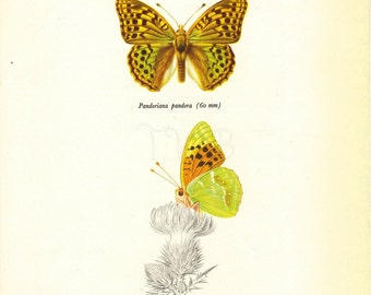 Butterfly Print, Art Print, Natural History, Vintage Illustration to Frame, Book plate, Entomology, Pandoriana Pandora, A-2