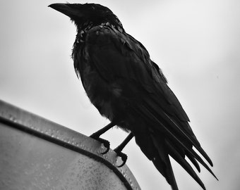 Raven Black and White Fine Art Photo Print 8x10 Crow Picture Raven Picture Crow Art Raven Art