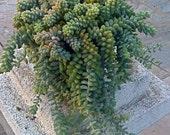 """6 Succulent Cuttings, Succulent plant, Sedum """"Burrito"""""""