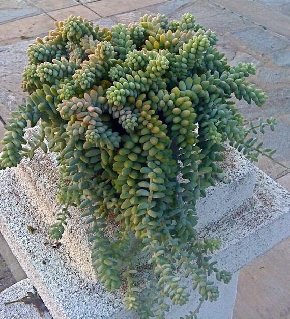 6 boutures succulente plante succulente sedum burrito. Black Bedroom Furniture Sets. Home Design Ideas