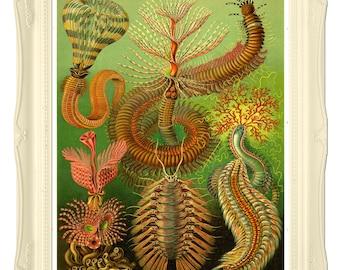 Ernst Haeckel Chaetopoda Illustration, Sea Worms Poster, Haeckel Wall Art, Marine Life Art, Bioephemera Art Print, Educational Art