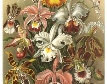 Ernst Haeckel Botanical Illustration, Orchids Print, Flowers Print, Natural History Botanical Art, Orchids, Garden Art Mother's Day Gift