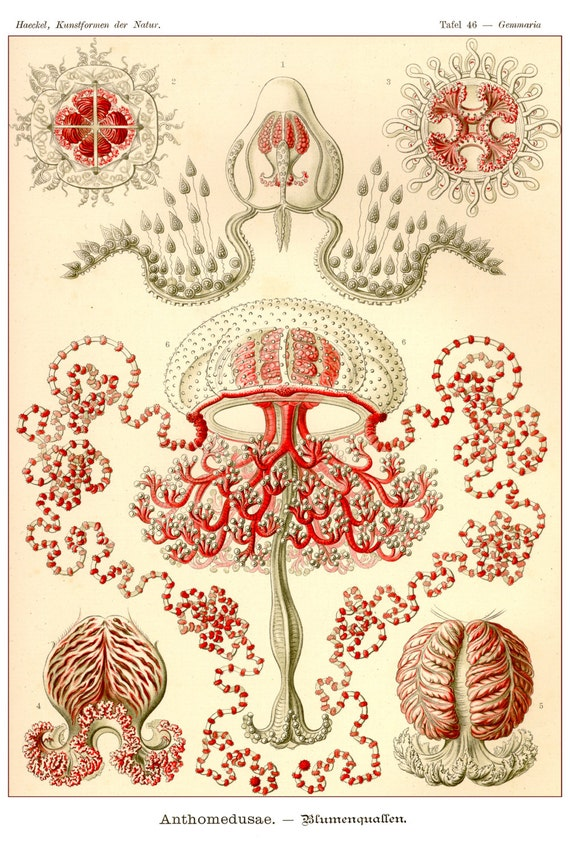 Vintage jellyfish illustration - photo#43