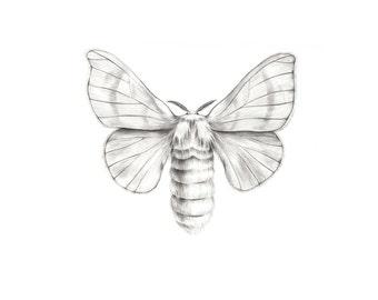 Original artwork - Silkworm Moth pencil drawing