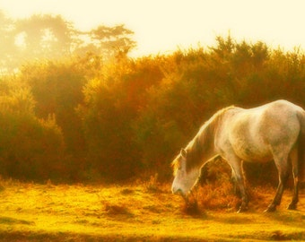 "Original, limited edition 12 x 6""photograph of a New Forest Pony"