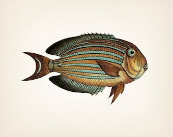 Eager eyed 1801 Striped Surgeonfish drawing - 8x10 Fine art print of a vintage natural history antique illustration
