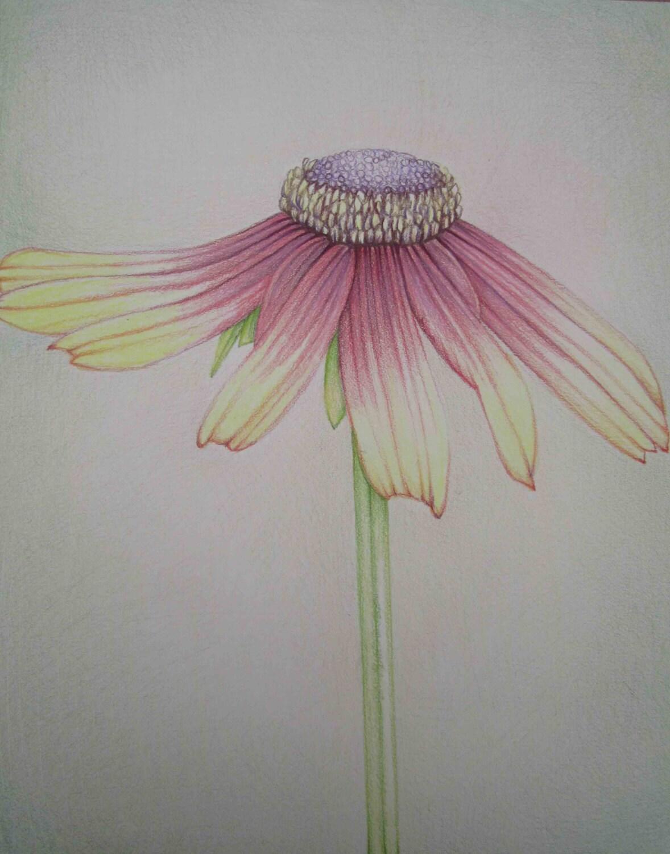 Pencil Art Work Multi Color Daisy Original by pencilartwork