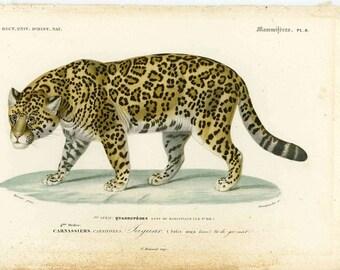 1861 ANTIQUE JAGUAR ENGRAVING - original antique african safari animal engraving rare and elegant