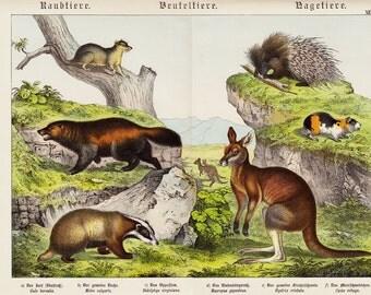 1886 Large ANIMAL print chart, fine chromolithograph of Marsupials, Rodents, Kangaroo print, badger, guinea pig, porcupine.