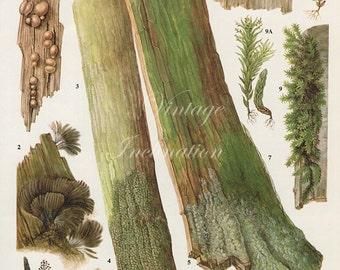 Vintage Antique WOOD LICHEN illustration, book page, book print, bookplate 173