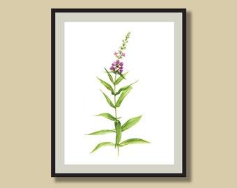 Botanical Illustration, Loosestrife, Flower Watercolor Print, Gardener Gift, Flower Print, Garden Art Home Decor, 8 x 10 or 11 x 14