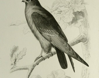 1849 Antique gorgeous print of a FALCON. Falcons. Hawk. Hawks. Ornithology. 168 years old lithograph.