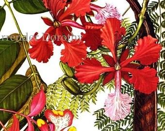 Amherstia Nobilis Flowers South East Asia Botanical Exotica Large Vintage Lithograph Illustration Print To Frame 113