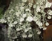 WILD ALYSSUM naturally DRiED FLOWER Bunches