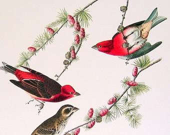 Audubon Bird Print - Purple Finch - Large 1981 Vintage Audubon Bird Book Page