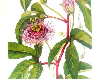 Flower Print - Maypops, Johnny Jump Up, Purple Violet - 2 Sided - 1950's Vintage Botanical Illustration Book Page