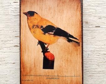 Vintage Yellow Bird Specimen 1904 -  Small Wall Art